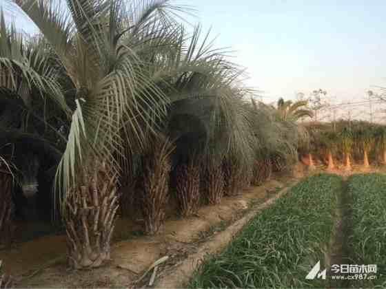 福建2.5-8米布迪椰子基地報價