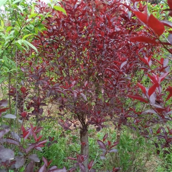 江苏5公分紫叶矮樱