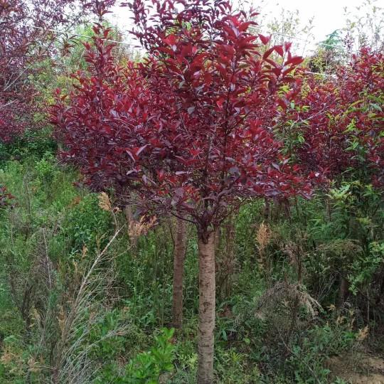 江蘇5公分紫葉矮櫻