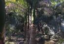 福建2-13米大王椰子基地