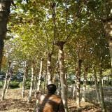 江苏法桐树
