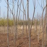 5公分火炬樹怎么賣 河北火炬樹市場行情