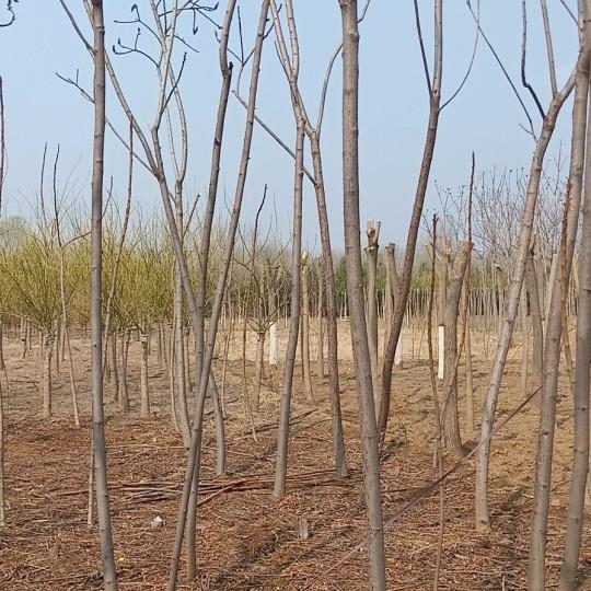 5公分火炬树怎么卖 河北火炬树市场行情