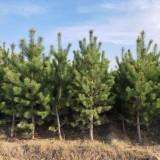 出售樟子松绿化