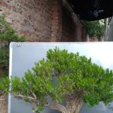 小叶黄杨盆景