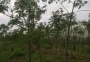 8公分马褂木