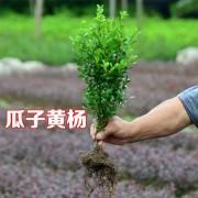 萧山30-40公分精品瓜子黄杨色块