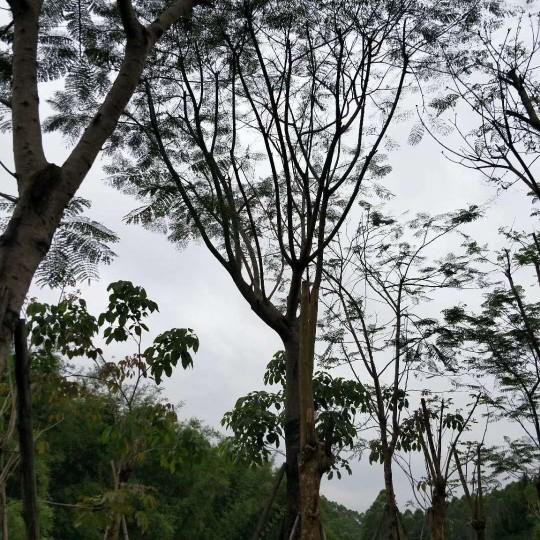 10-22公分全冠鳳凰木