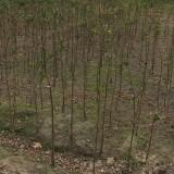 香橼树批发价格
