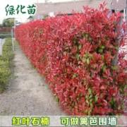 150公分红叶石楠篱笆