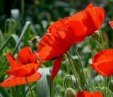 直销花卉种子虞美人种子