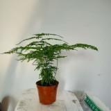 矮生密叶文竹