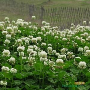 直销花卉种子白三叶草种子 红三叶草