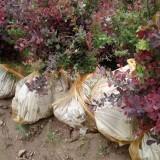 营养杯红叶小檗