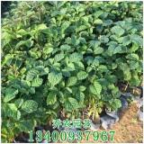高度20-30黄花风铃木苗价格1.5