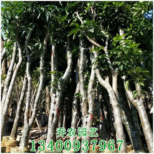 芒果樹價格