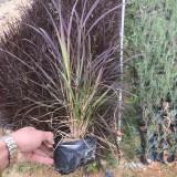 紫叶狼尾草