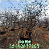 石榴樹價格