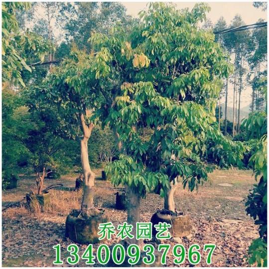 荔枝树果树移植苗
