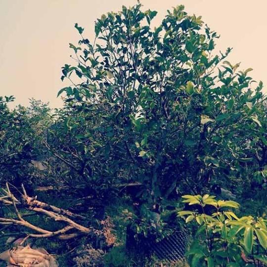 250公分柚子树批发