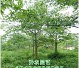 美人树、美丽异木棉
