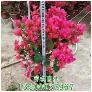红花三角梅盆栽