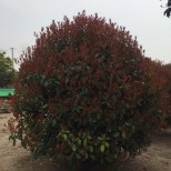 红叶石楠基地