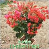红色三角梅盆栽价格