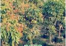 荔枝树批发