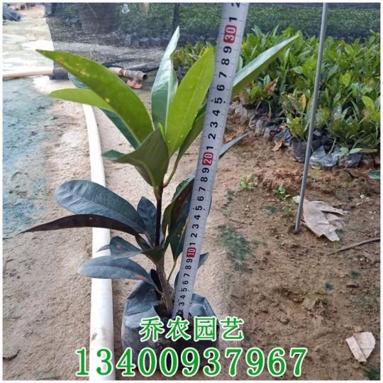 漳州高30公分变叶木杯苗