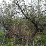 苹果树 平安树盆栽