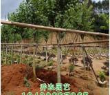 漳州10公分宫粉紫荆