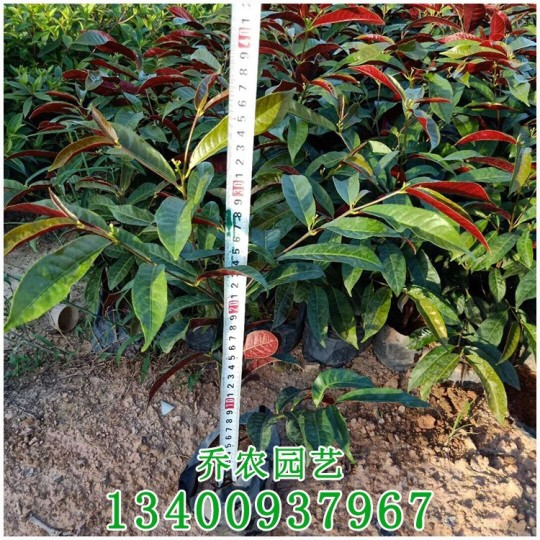 漳州高40公分红背桂