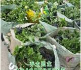 漳州高30公分花叶假连翘