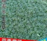 直销8公分日本矮麦冬草