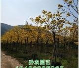福建黄花风铃木