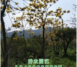 福建高3米黄花风铃木