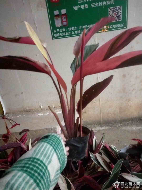 七彩竹芋批發