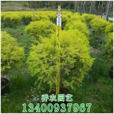 漳州高1米黄金香柳球