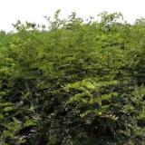 40公分高江苏紫穗槐