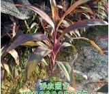 漳州高30公分红叶朱蕉