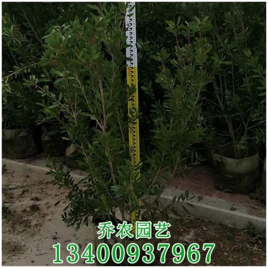 漳州高1.5米红千层