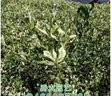 福建高40公分花叶栀子花