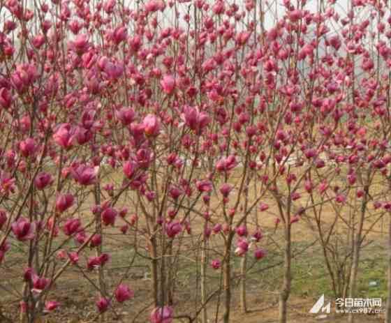 江苏常年供应紫玉兰小苗60公分~2.5米