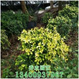 漳州高1.2米黄金榕球