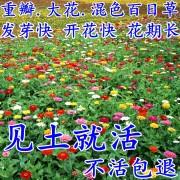 直销百日草花种子