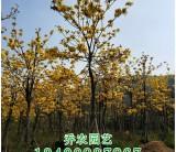 漳州高3米黄花风铃木