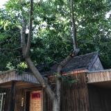 20年板栗树