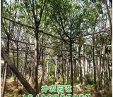 福建高2.5米山樱花