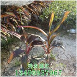 福建高30公分红叶朱蕉